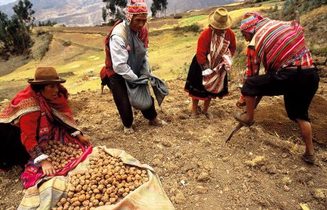 Le Patate, tesoro alimentare delle Ande. Foto: Alejandro Balaguer - Centro Internacional de la Papa (Perù).