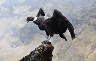 Condor, Parco Nazionale Sangay.